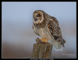 Short-eared Owl, with dinner