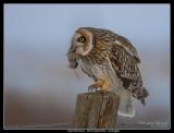 Short-eared Owl, Fredshög