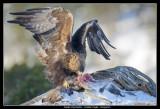 Golden Eagle feeding on deer