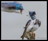 Tree Swallow, Secaucus