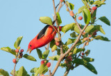 Scarlet Tanager Reaching with Tongue