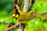 Hooded Warbler with Caterpillar