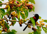 Orchard Oriole with Many Berries