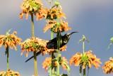 Tacazze Sunbird Nectarinia tacazze
