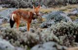 etiopian wolf