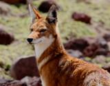 Ethiopian wolf - Lobo etiopico - llop etiopi
