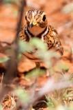 Three-banded Courser (Rhinoptilus cinctus) Courvite à triple