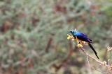 Golden-breasted or Royal Starling (Cosmopsarus regius)
