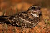 Slender-tailed Nightjar (Caprimulgus clarus)
