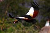 Black headed Crown Crane