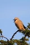 The Stresemann's Bushcrow (Zavattariornis stresemanni), also known as Abyssinian Pie, Bush Crow, Ethiopian Bushcrow