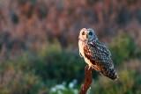Short-eared Owl - Asio flameus - Lechuza o buho campestre - Mussol Emigrant