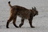 Iberian lynx Sara