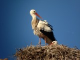 White stork nest in Ouarzazate