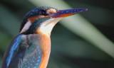 Adult Male Kingfisher - Alcedo attis - Martin Pescador - Blauet
