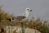 Juvenile plumage from a Mediterranean Gull - Larus melanocephalus - Joven de Gaviota cabecinegra - Gavina Capnegra