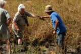 Shena and Josep Bertomeu (Polet) harvesting rice