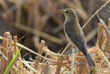 Willow warbler - Phylloscopus trochyllus