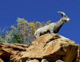 Desert Big Horn Sheep, Zion National Park, UT
