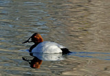 Canvasback, Dead Horse Ranch State Park, AZ