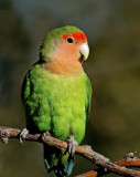 Peach-faced Lovebird, Gilbert Riparian Preserve, AZ