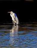 Great Egret in breeding plumage, Gilbert Riparian Preserve, AZ