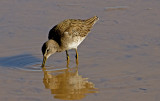 Long-billed Dowitcher, Gilbert Riparian Preserve, AZ