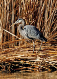 Great Blue Heron in Cattails