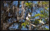 5719 Ibis tree