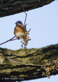 Eastern Bluebird and poison ivy berries