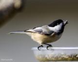 Black-capped Chickadee II
