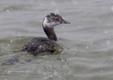 Horned Grebe at BESP in snowstorm: 3.16.13