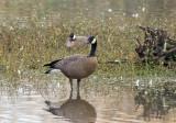 Dusky Canada Goose