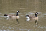 Taverner's and Ridgway's Cackling Geese