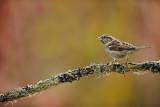 Bruant (Sparrow)