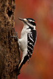 Pic (Woodpecker)