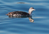 Red-throated Loon, juvenile