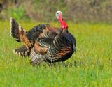 Wild Turkey, male displaying
