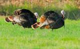 Wild Turkeys, males displaying