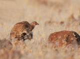 Greater Sage Grouse, female