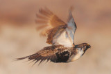 Greater Sage Grouse, flying male