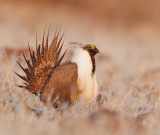 Greater Sage Grouse, displaying male