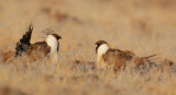 Greater Sage Grouse, males facing off
