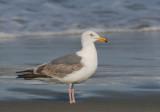 Western Gull, second summer