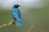 Greater Blue-eared Starling.jpg
