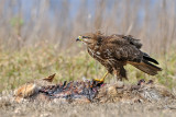 עקב חורף - Common Buzzard