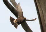 pied_starling