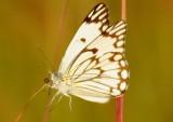 Brown-veined White