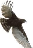 brown_snake-eagle