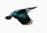 woodland_kingfisher